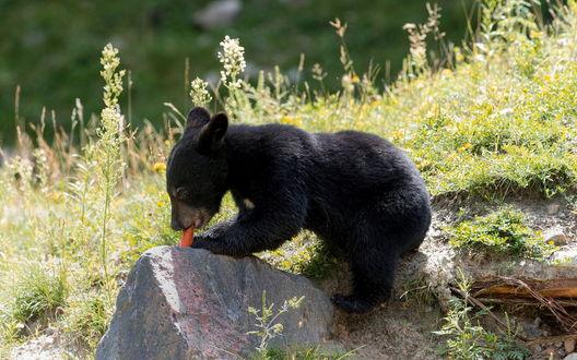 Обои Медвежонок сидя у камня грызет морковку