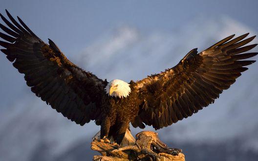 Обои Белоголовый орел расправив крылья сидит на пне, на фоне гор