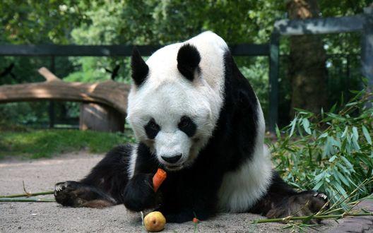 Обои Панда грызет морковку сидя на земле