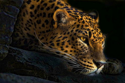 Обои Леопард лежит на камнях