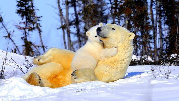 Обои Белая медведица с медвежонком играют на снегу у леса