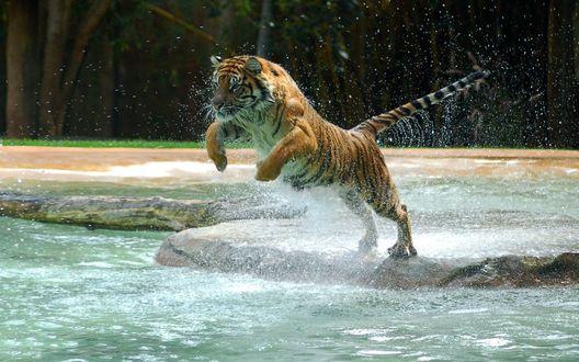 Обои Тигр прыгающий в воду