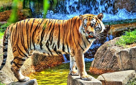 Обои Тигр стоит на камнях у водопада
