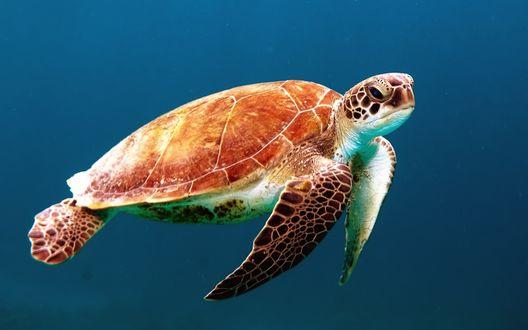 Обои Морская черепаха плывет под водой