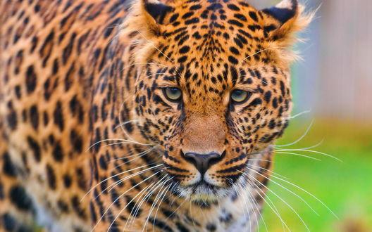 Обои Леопард смотрит прямо