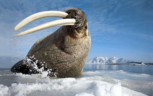 Обои Морж с огромными бивнями лежит на льдине