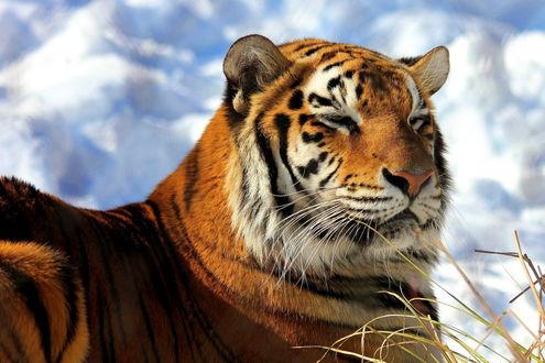 Обои Амурский тигр лежит на снегу