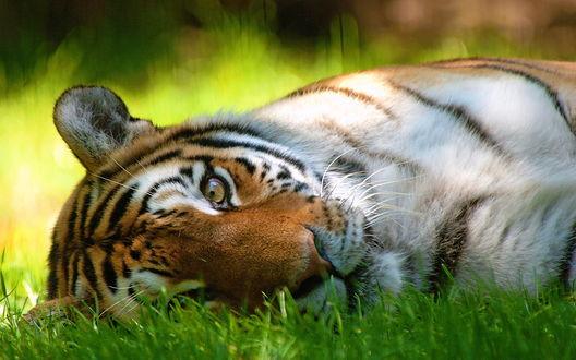 Обои Тигр лежит на траве