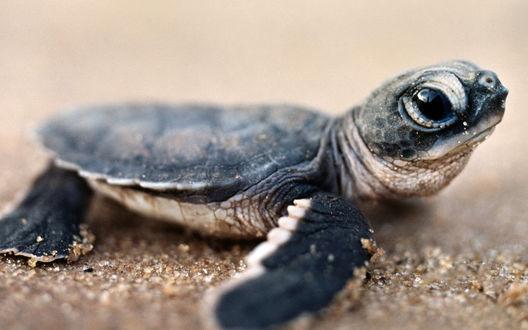 Обои Детеныш морской черепашки на песчаном берегу