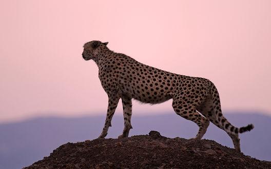Обои Гепард стоит на холме на фоне розового закатного неба и смотрит вдаль