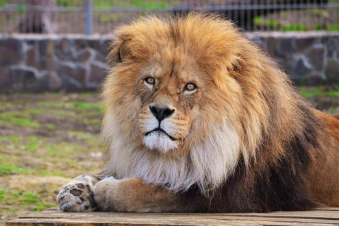 Обои Лев лежит на полу в зоопарке