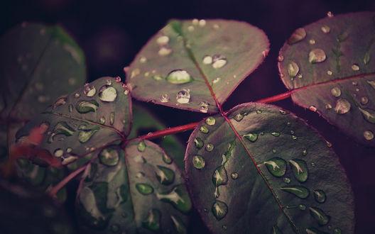 Обои Капли дождя на темно - зеленых листьях