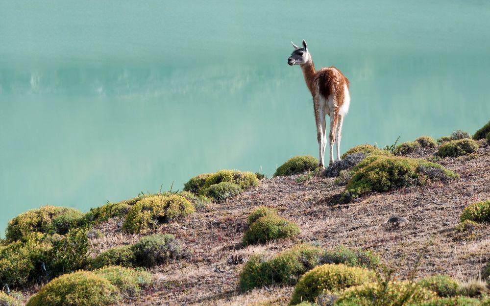 Обои для рабочего стола Лама гуанако стоит на травянистом берегу озера