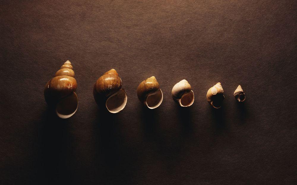 Обои для рабочего стола Шесть раковин морского моллюска трубача, уложенных в порядке уменьшения размера