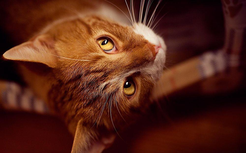 Рыжий кот желтые глаза