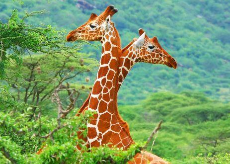 Обои Два жирафа стоят на фоне леса