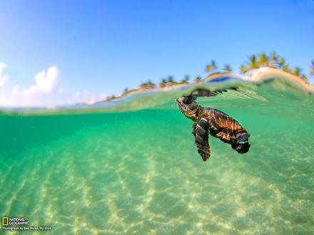 Обои Маленький черепашонок под водой, фотограф Бэн Хикс / Ben Hicks для National Geographic