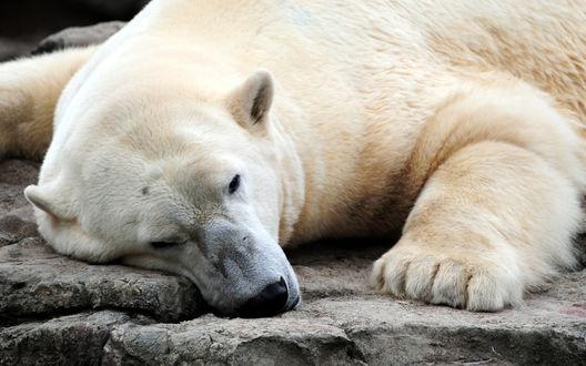 Обои Белый медведь лежит на камне