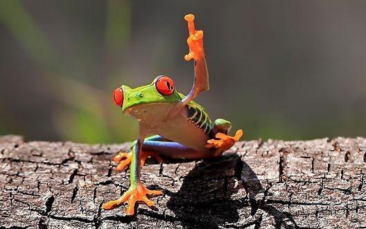Обои Лягушка сидит на куске дерева, приподняв лапку, как-будто показывая неприличный жест