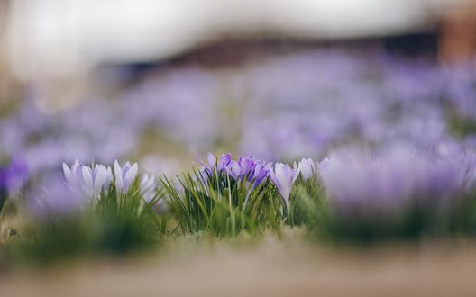 Обои Поляна фиолетовых крокусов