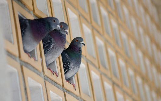 Обои Три голубя выглядывают из небольших окошек