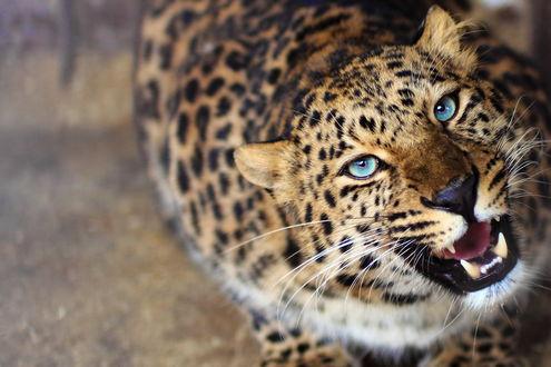 Обои Леопард с голубыми глазами смотрит вверх