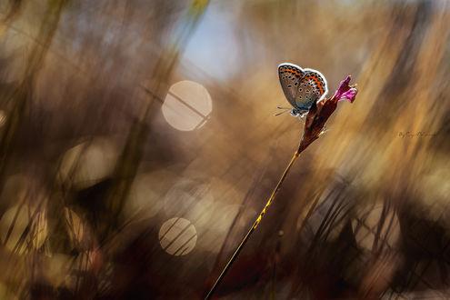 Обои Бабочка сидит на нераспустившемся розовом цветке среди высокой травы (By Cyril Verron)