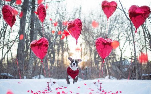 Обои Собака стоит среди красных шариков в виде сердечек в зимнем парке