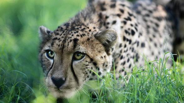 Обои Притаившийся в траве гепард высматривает добычу