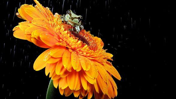 Обои Маленький лягушонок сидит на оранжевом цветке герберы на черном фоне под дождем
