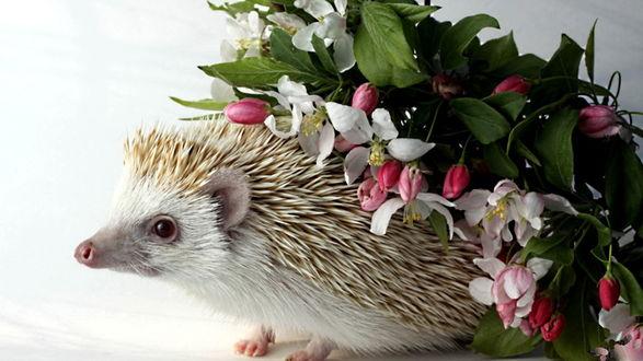 Обои Ежик тащит на своих иголках цветущую весной ветку яблони с белыми цветами, розовыми бутонами и зелеными листьями