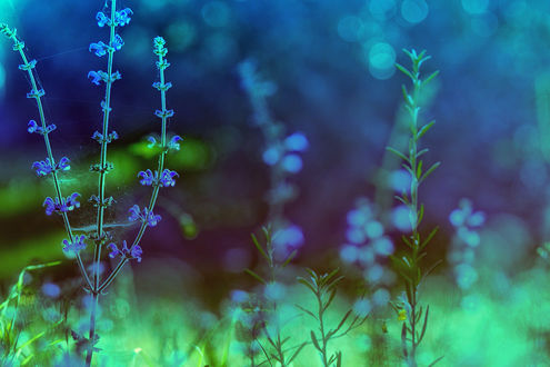 Обои Цветы цикория в макросъемке