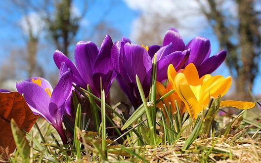 Обои Весенние фиолетовые и желтые крокусы на фоне голубого неба с белыми облаками