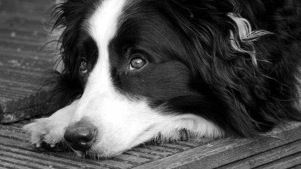 Обои Собака с грустным взглядом положила голову на лапы