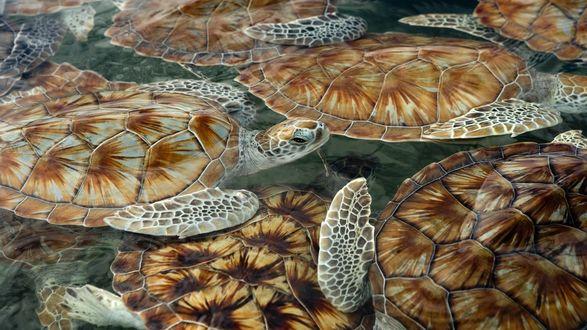 Обои Морские черепахи плещутся в воде