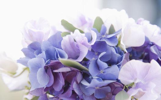 Обои Белые, сиреневые и голубые цветы гортензии