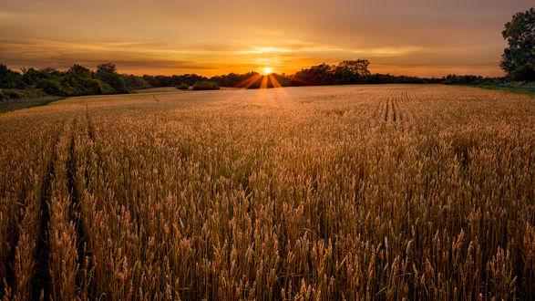 Обои Закат в поле спелой пшеницы