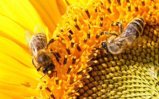 Обои Две пчелы собирают нектар на цветке подсолнуха