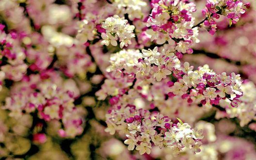 Обои Цветущие ветви яблони