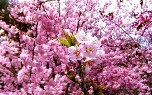 Обои Цветущая японская вишня / сакура