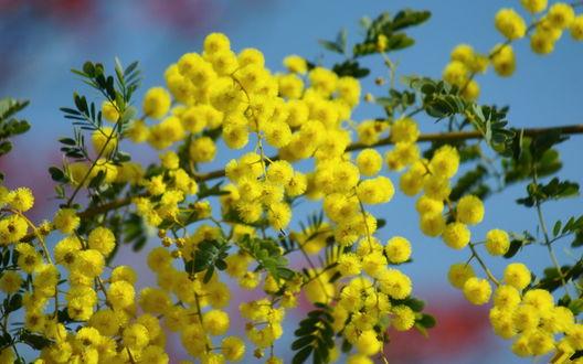 Обои Цветущая весной ветка мимозы на фоне голубого неба