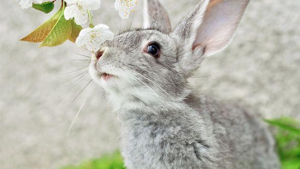Обои Серый кролик приподнял носик к белым цветкам абрикоса