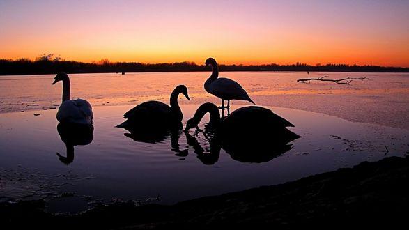 Обои Лебеди на озере на закате солнца