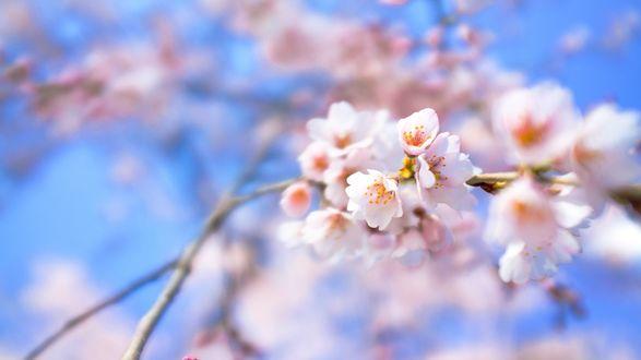 Обои Белые весенние цветы на ветке