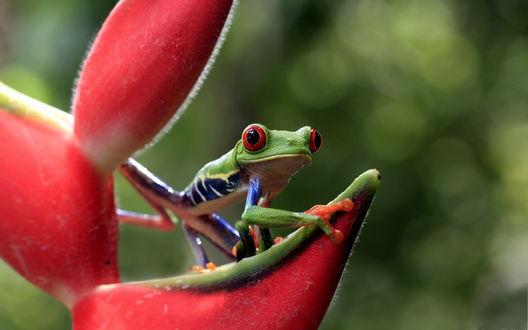 Обои Зеленая лягушка с красными глазами, сидящая на цветке стрелиции