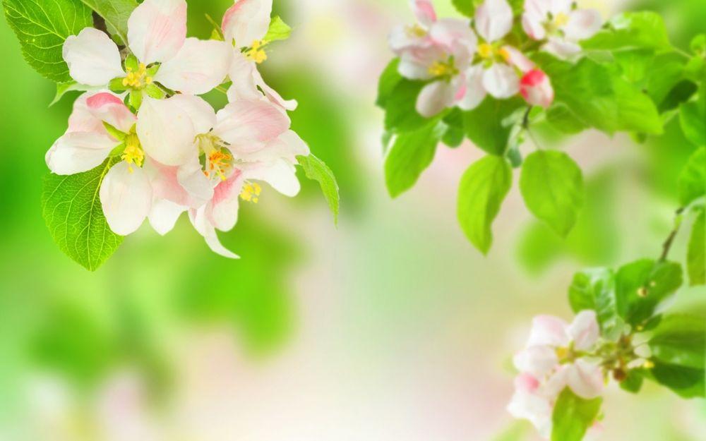 обои на рабочий стол бесплатно цветы сакуры