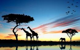 Обои силуэт двух жирафов слона и