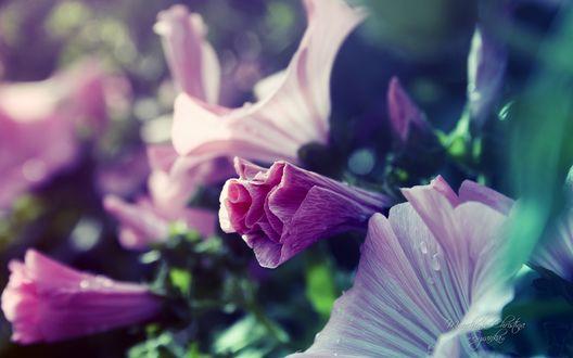 Обои Бутоны фиолетовых цветов, фотограф Кристина Манченко / Kristina Manchenko