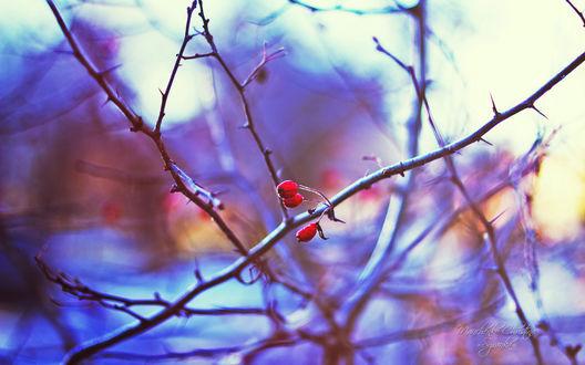 Обои Ягоды шиповника на голых ветках, фотограф Кристина Манченко / Kristina Manchenko