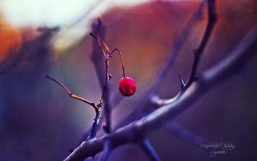 Обои Красная ягода на голой ветке, фотограф Кристина Манченко / Kristina Manchenko